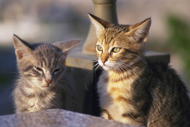 猫の甲状腺機能亢進症